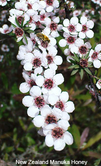 Manuka Tree (Honey) New Zealand